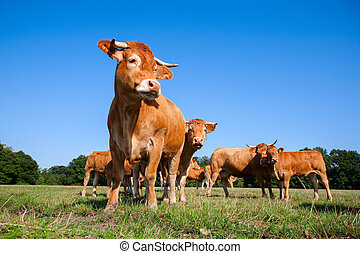Limousin cows in the meadow