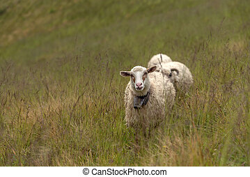 sheeps on green meadow in mountain
