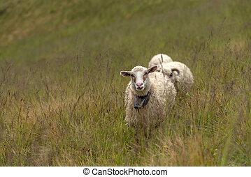 sheeps on green meadow in mountain