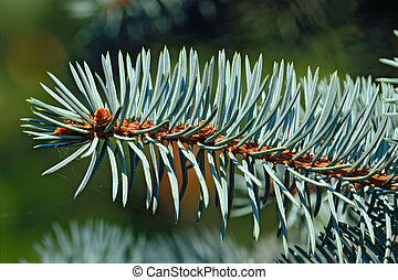 Sprig of blue spruce Picea pungens closeup