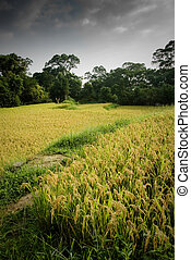 ripe rice with yellow color - Here are ripe rice with...