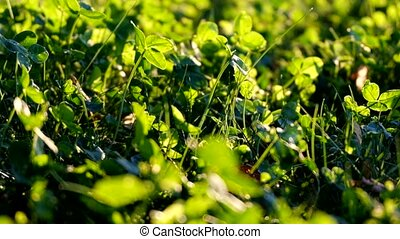 Green Irish clover leafs in the forest.