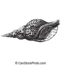 Sea shell - Ancient style engraving of a single sea shell