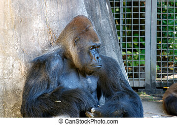 Gorilla in New Orleans Zoo