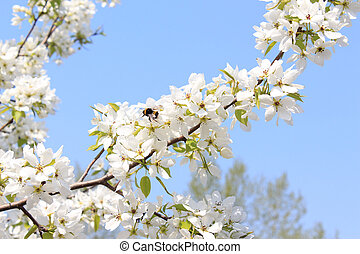 Bumblebee on a full-blown apple - Apple blossom in spring in...