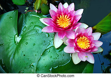 water lilies - macro of water lilies in a pond