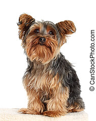 yorkie dog - cute little yorkshire terrier dog, isolated on...