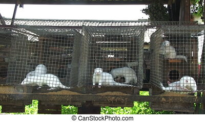 Minks in cage - Minks in the cage