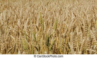 Field of wheat swinging in the wind