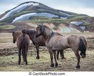 Rear view of Icelandic horses group in Landmannalugar...