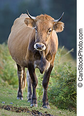 Cow standing over a blurring background. Shallow depth of...