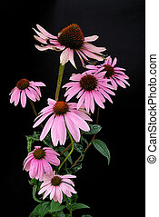 Purple Coneflower 15