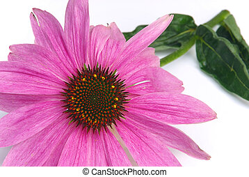 Purple Coneflower 17