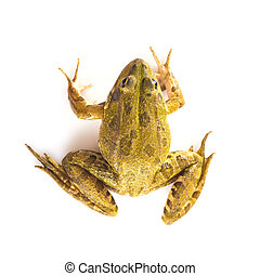 Green frog isolated on a white background - Green frog alive...
