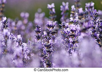 Lavender in garden - Blue lavender in garden on a summer day