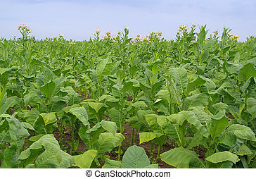 cultivated Tobacco 01