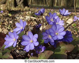 Bunch of round-lobed hepatica - Round-lobed hepatica, early...