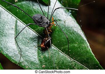 Black spider long legs