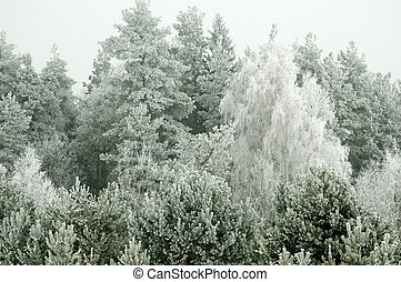 Frosted coniferous forest
