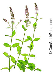 Spearmint (Mentha spicata) isolated in front of white...