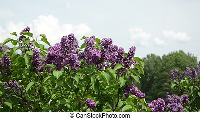Girl smell lilac tree blooms