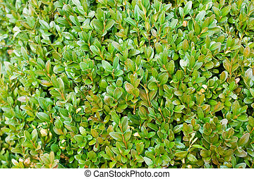 Boxwood background - Boxwood hedge after rain closeup