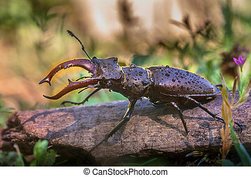 Stag Beetle on a log - Stag Beetle (Lucanus cervus) Outdoor...