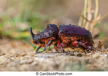 European Rhinoceros Beetle on the Forest Floor - European...