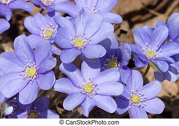 Round-lobed hepatica, early springtime