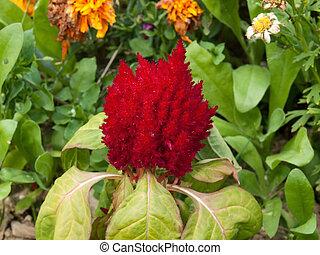 celosia - The celosia red-coloured in garden