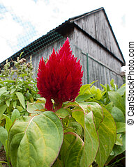 celosia against the background of the shed