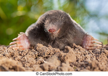 Wild Mole (Talpa europaea) in Natural Environment on a...