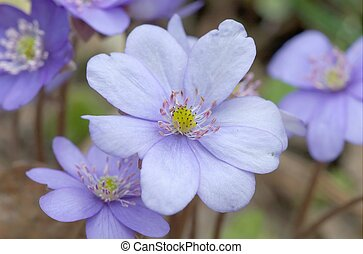 Round-lobed hepatica close-up - Round-lobed...