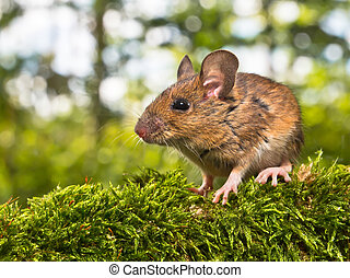 Side View of the Head of a Field Mouse (Apodemus sylvaticus)...