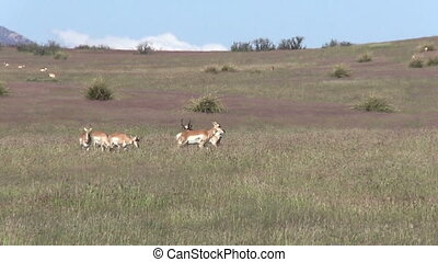 Pronghorn Antelope in Rut - a herd of pronghorn antelope...