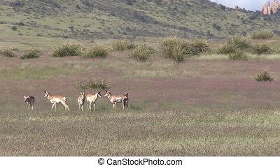 Pronghorn Antelope in Rut - a herd of pronghorn antelope...