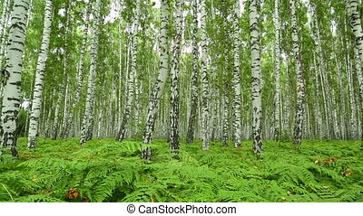 nice summer birch forest - slider dolly shot