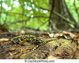 Salamandra Salamandra in Natural Old Forest Habitat -...