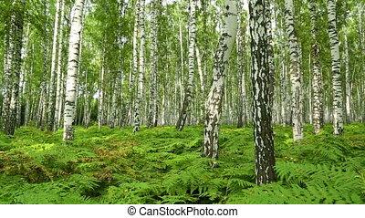 nice summer birch forest - slider dolly shot