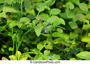 blueberry plant 04