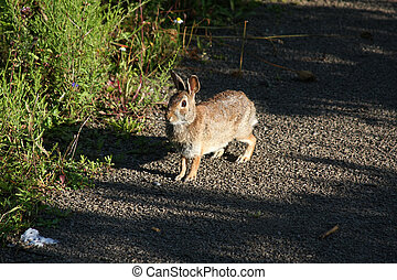 Cottontail Rabbit In Morning Sun