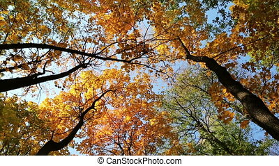 autumn yellow tree tops - slider dolly shot