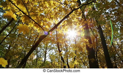 beautiful autumn yellow leaves and sun - slider dolly shot