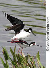 Black-necked Stilts (Himantopus mexicanus) mating