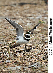 Killdeer Charadrius vociferus - Mother Killdeer Charadrius...