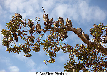 Vultures. - A flock of vultures on a tree, Africa, Ethiopia.