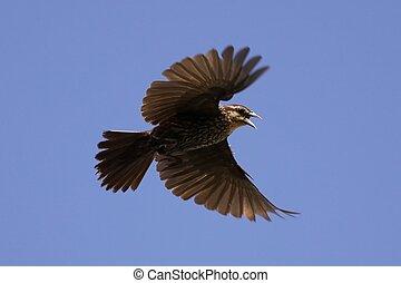 Red wing in flight - Female red wing blackbird in flight.