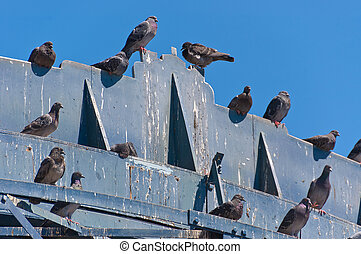 Pigeons crap - lot of pigeons on a wooden structure