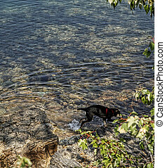 Puppy Playing in Lake - Black and tan hound mix puppy...