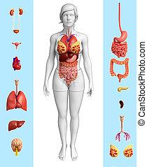 female organ anatomy - Illustration of female organ